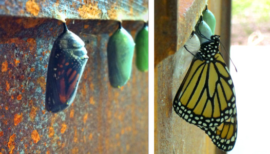 Dansko and the Monarch Butterfly Lifecycle  -